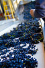 Vineyard/Harvest Work : work in and around a vineyard, at harvest and throughout the year